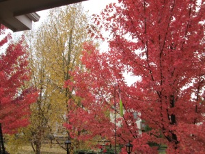 Red Leaf Maple in autumn...gorgeous.